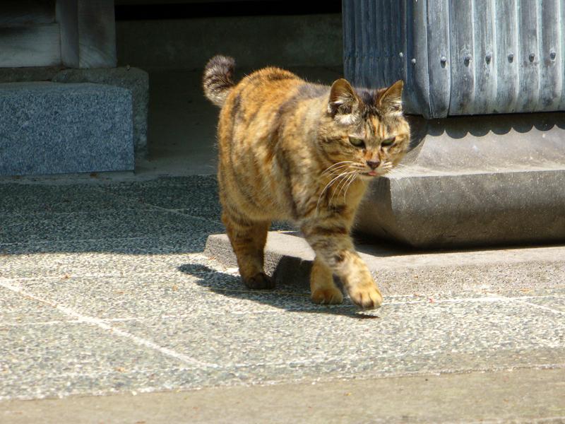 古いお寺のサビ柄猫4