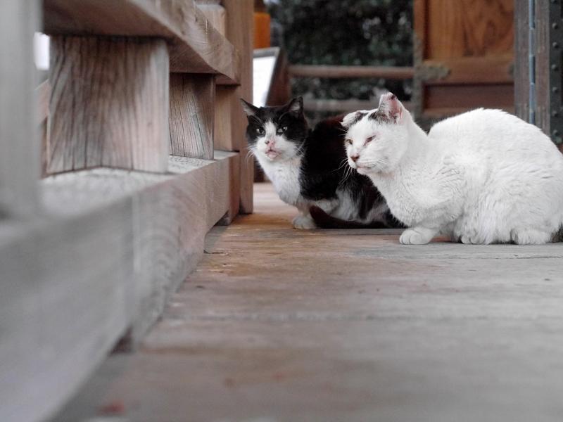 古堂濡れ縁の仲良し猫たち4