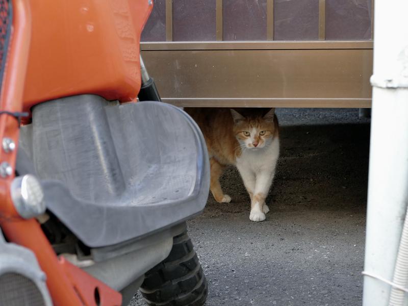 アパートの下から出てきた茶白猫1