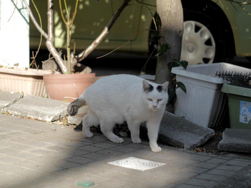 住宅街の白キジ猫1