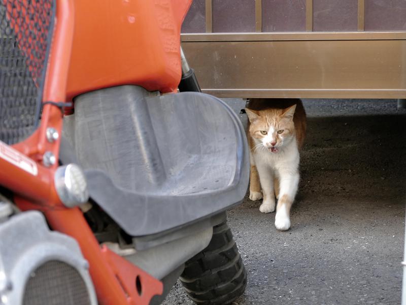 アパートの下から出てきた茶白猫2