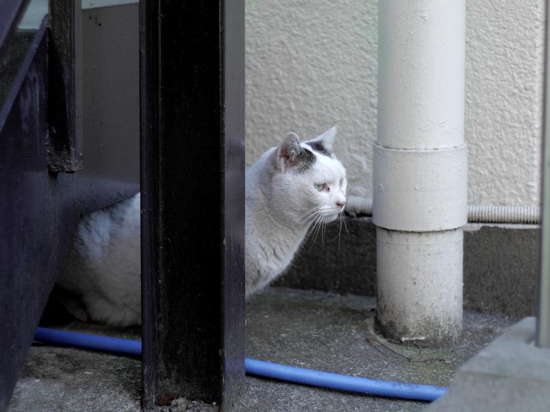 住宅街の白キジ猫2