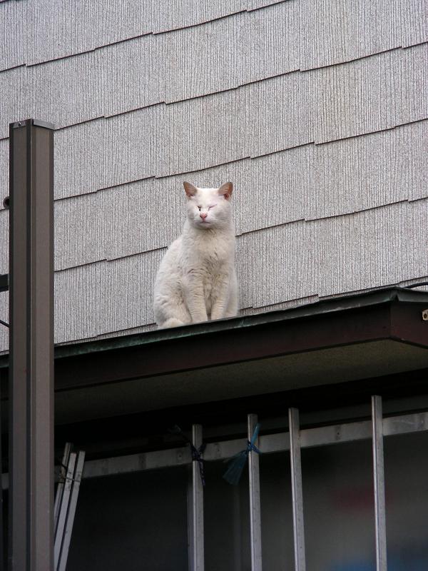 民家庇の白猫1