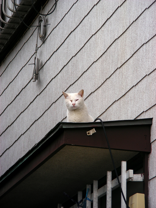 民家庇の白猫2