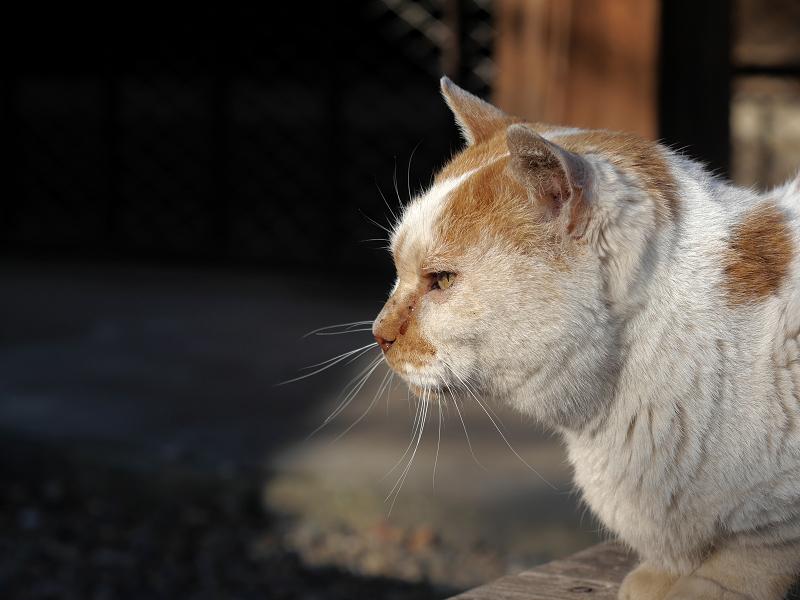 白茶猫の横顔1