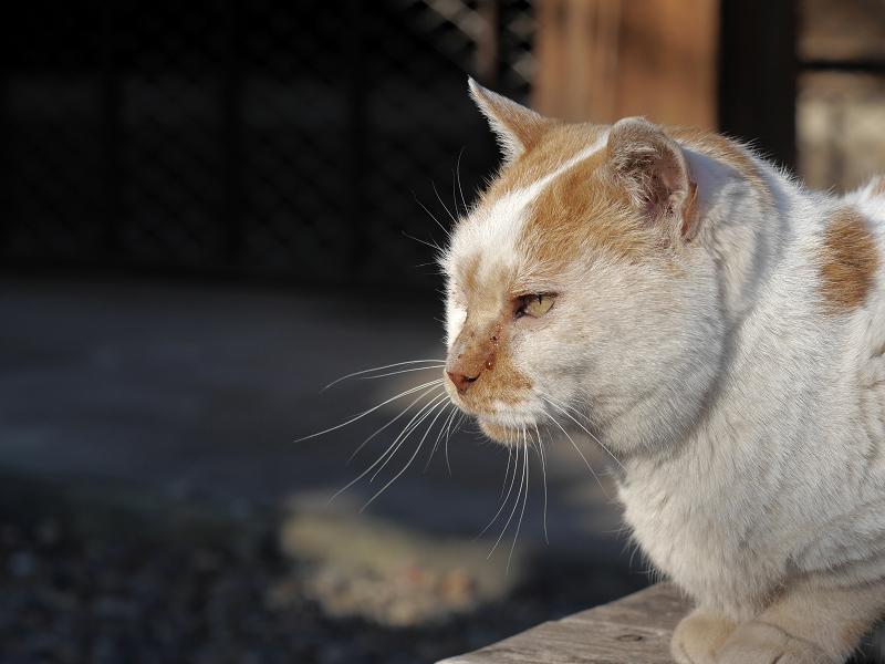 白茶猫の横顔2