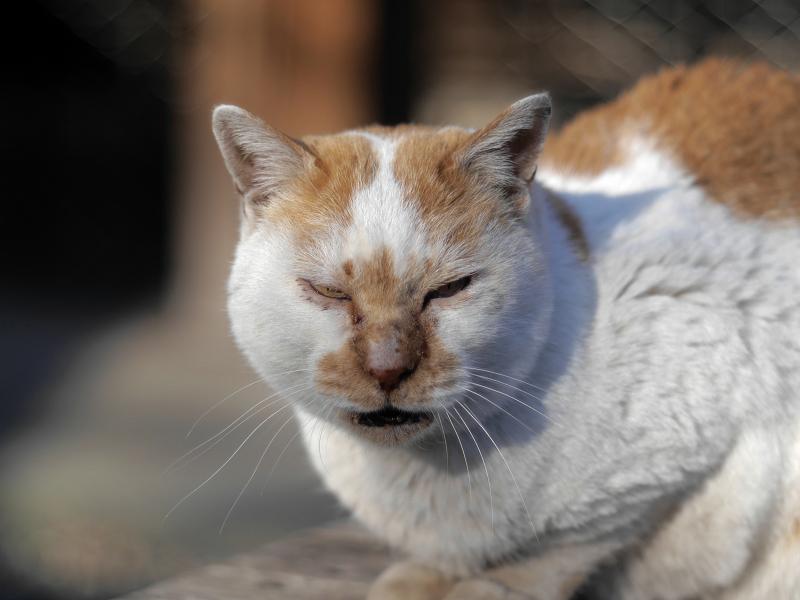 白茶猫の横顔3
