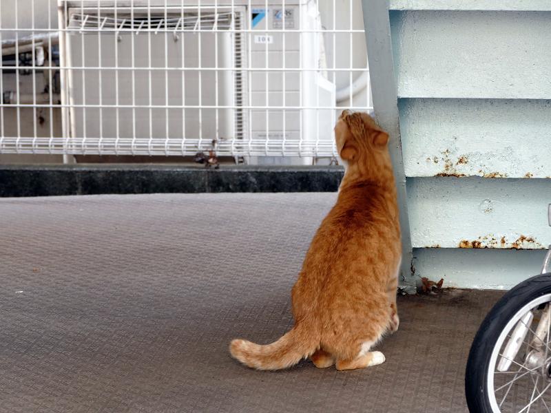 階段の裏側に擦り付ける茶白猫2