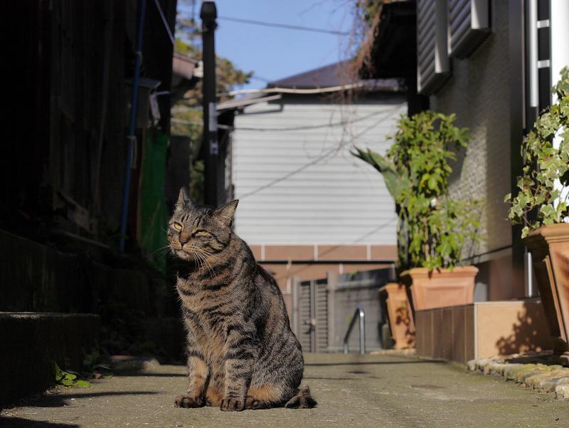 静かな路地のキジトラ猫1