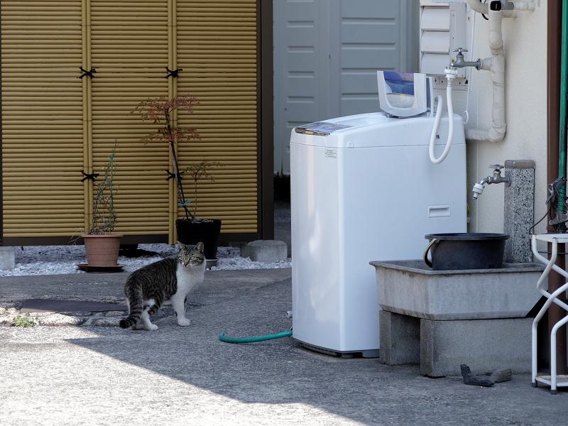 店の敷地内を歩くキジ白猫1
