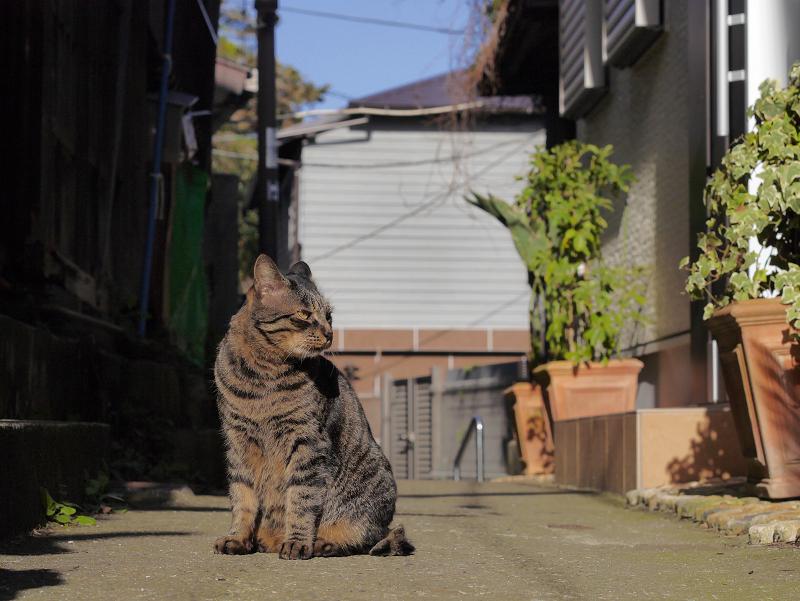 静かな路地のキジトラ猫2