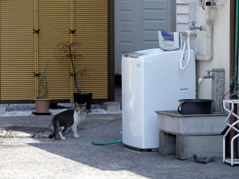 店の敷地内を歩くキジ白猫2
