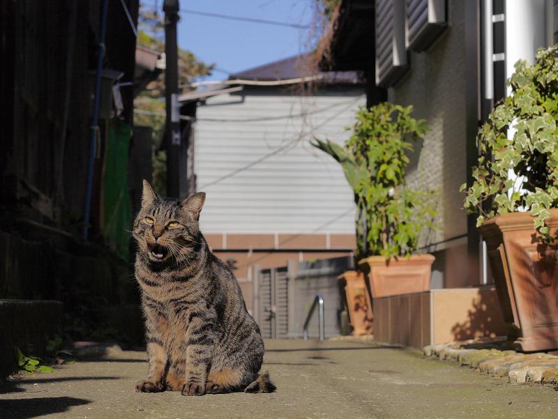 静かな路地のキジトラ猫3