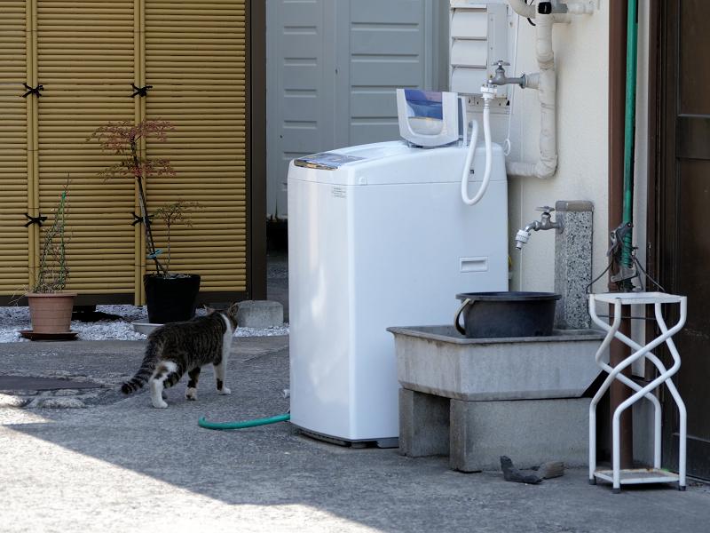 店の敷地内を歩くキジ白猫3
