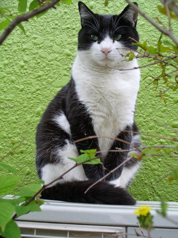 緑の背景と黒白猫1