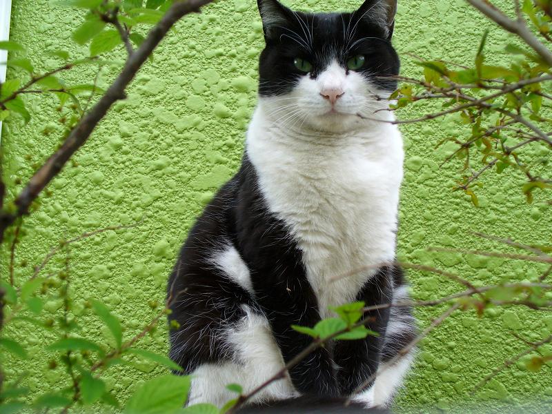 緑の背景と黒白猫2