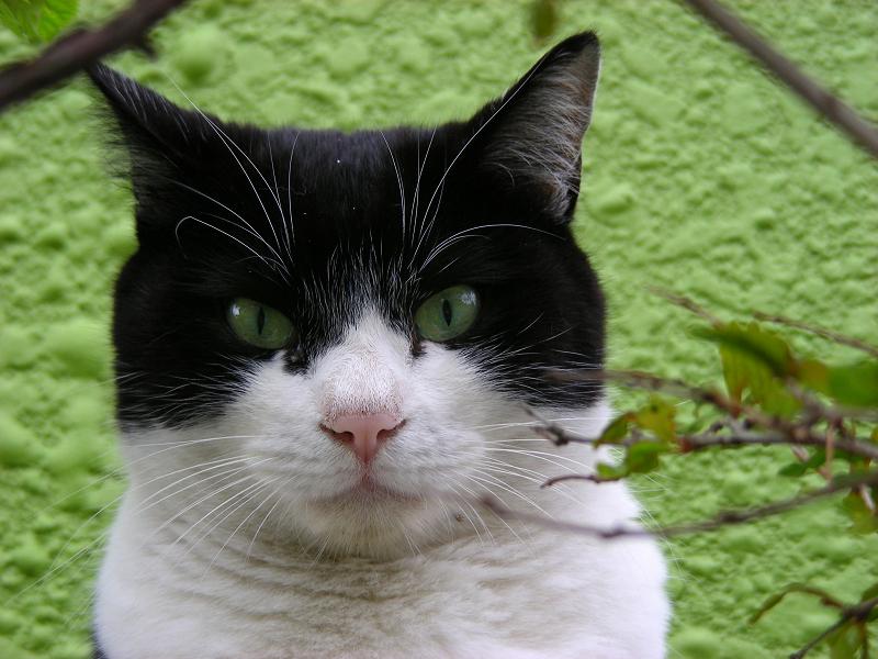 緑の背景と黒白猫3