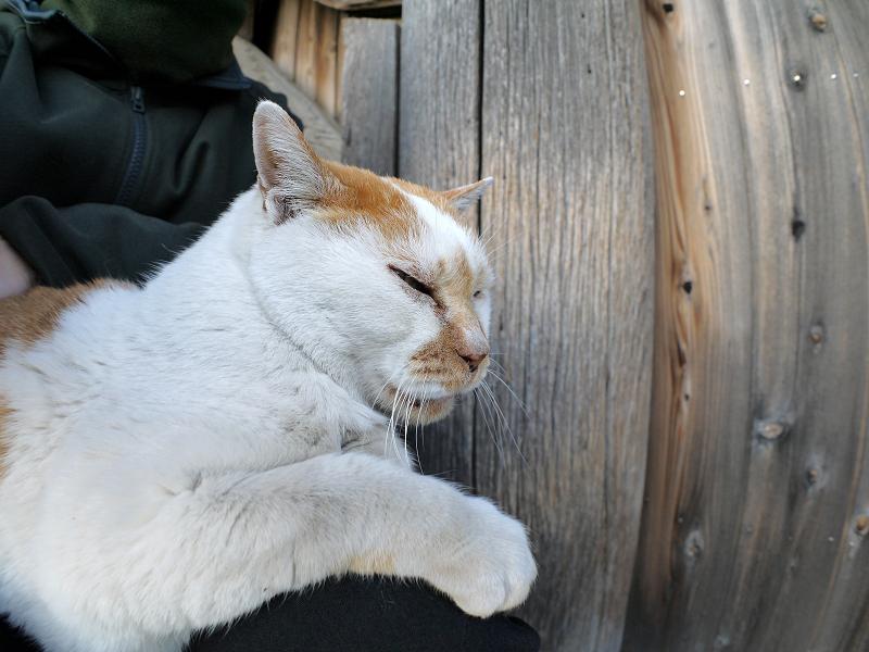 膝の上で甘える白茶猫1