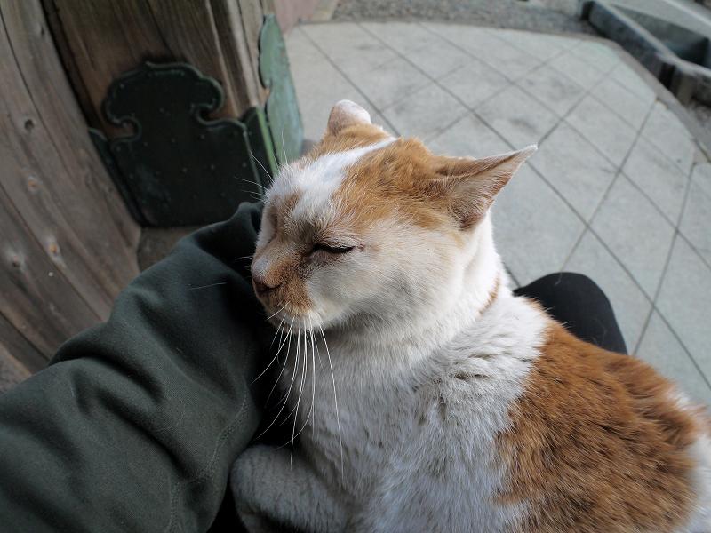 膝の上で寝てしまう白茶猫1