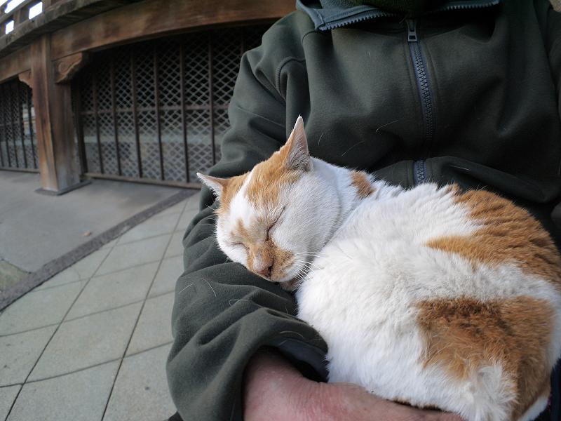 膝の上で寝てしまう白茶猫3