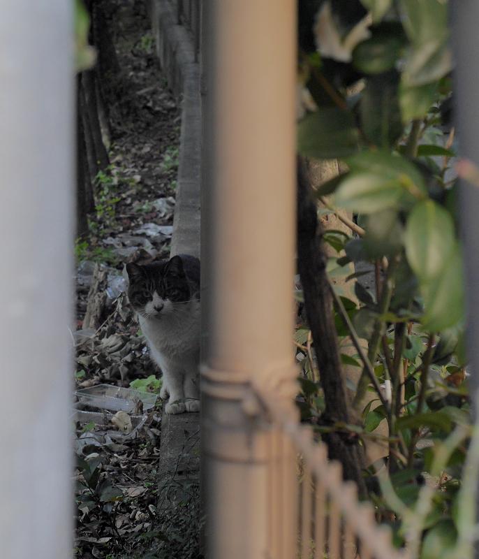 公園暗がりのキジ白猫