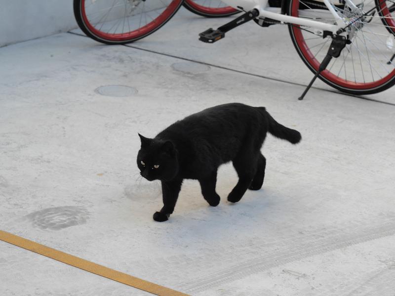 グレーコンクリに黒猫1