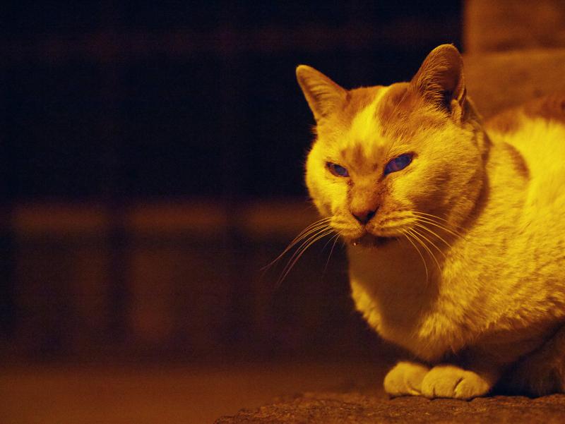 夕暮れの茶白猫1