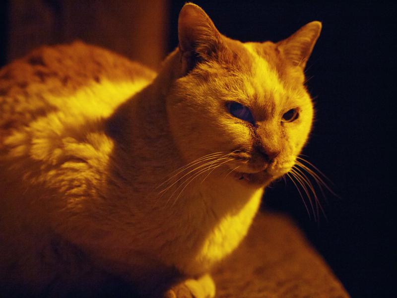 夕暮れの茶白猫2