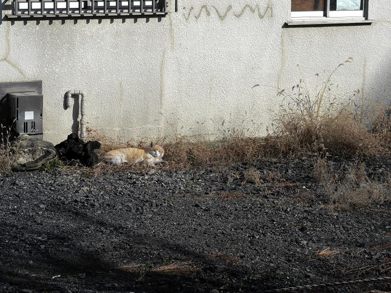 空き地の茶白猫1