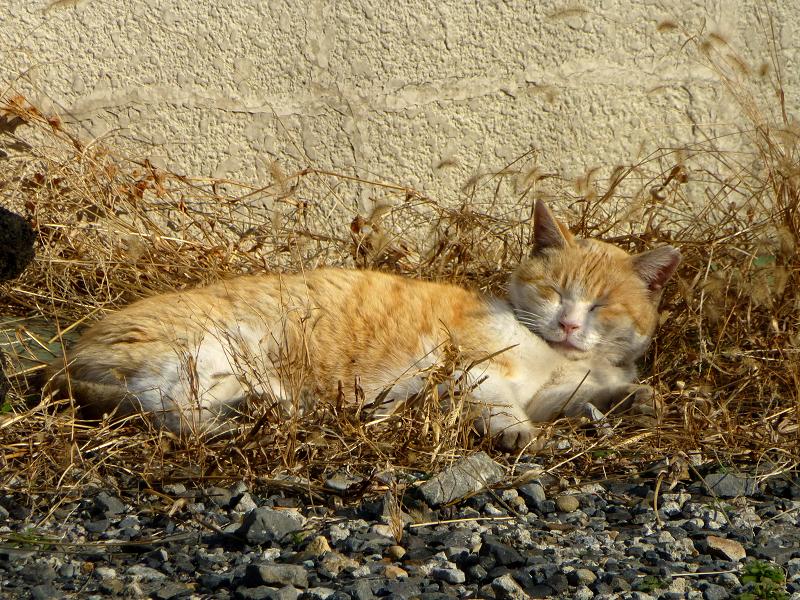 空き地の茶白猫2