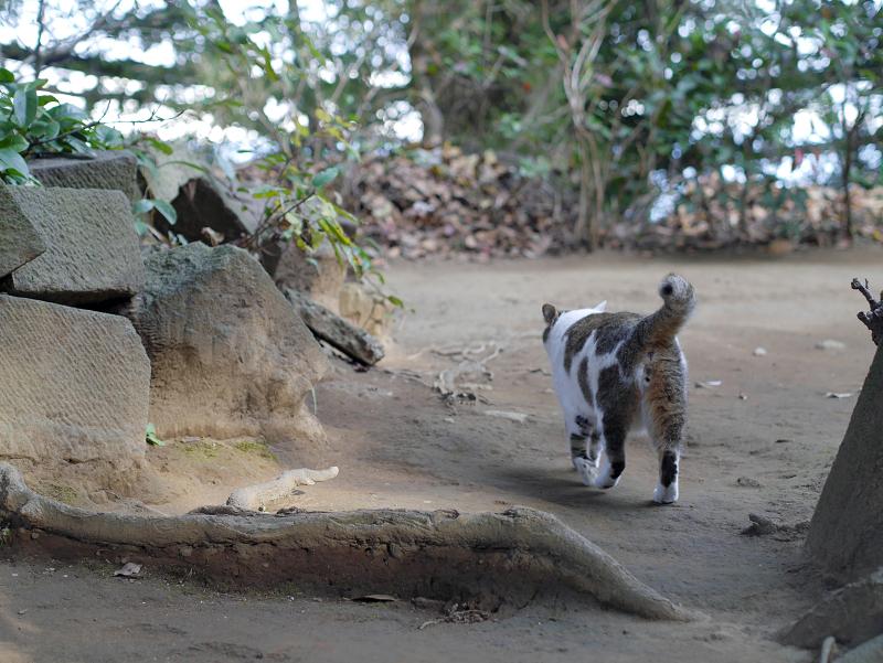 立ち去る白キジ猫の後ろ姿1
