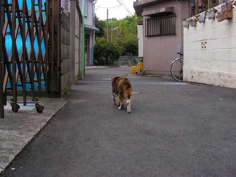 路地を歩く三毛猫1