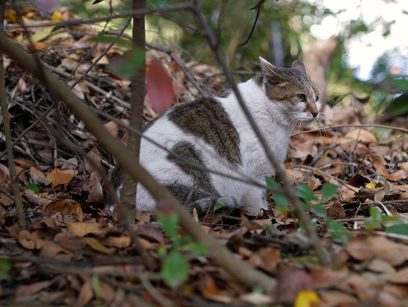 落ち葉と白キジ猫1