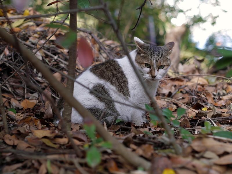 落ち葉と白キジ猫2