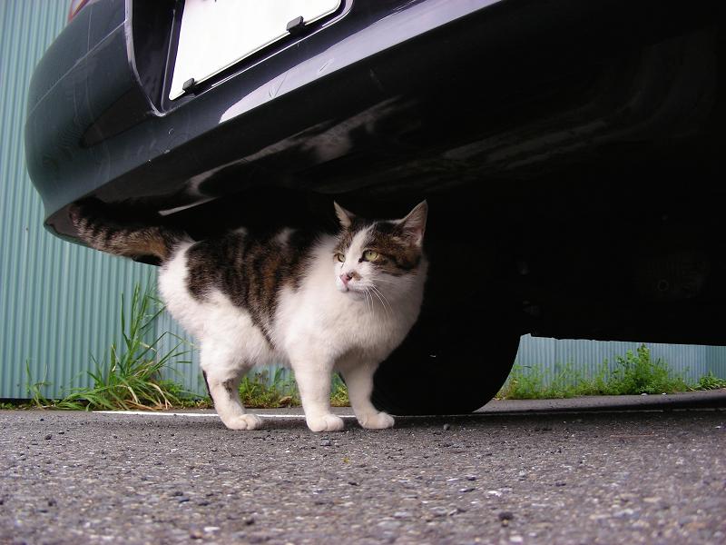 車の下の白キジ猫1