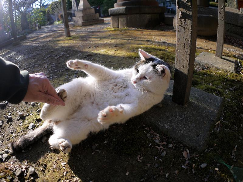足裏の触った白キジ猫3