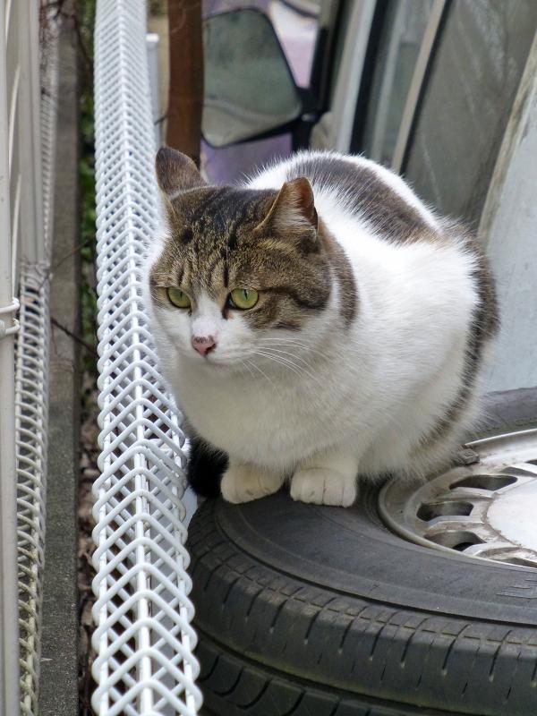 アパートの白キジ猫2