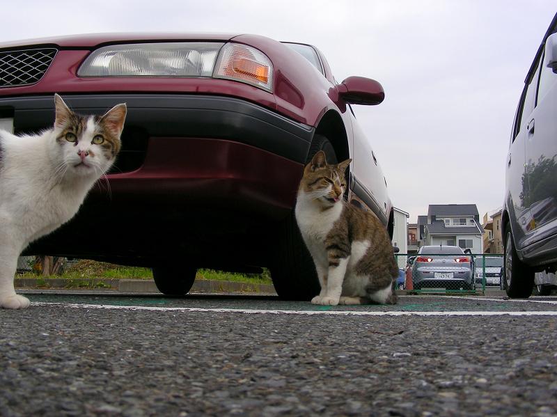 ローアングル駐車場の猫1