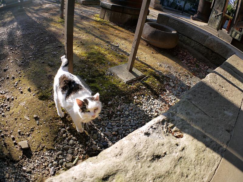 飛び上がる白キジ猫1