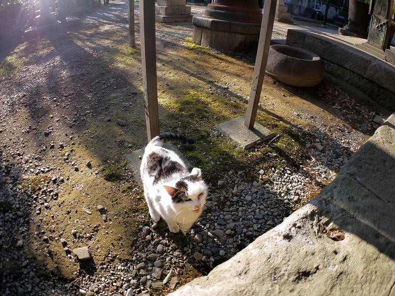 飛び上がる白キジ猫2