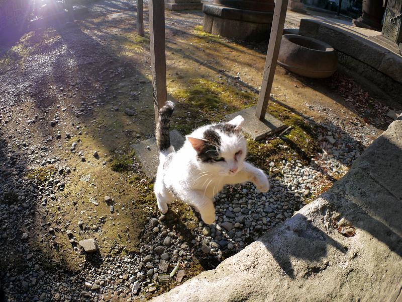 飛び上がる白キジ猫3