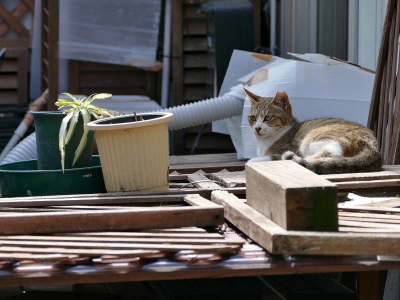 物置上のキジ白猫2