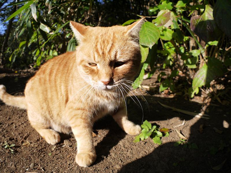 土の上の茶トラ猫2