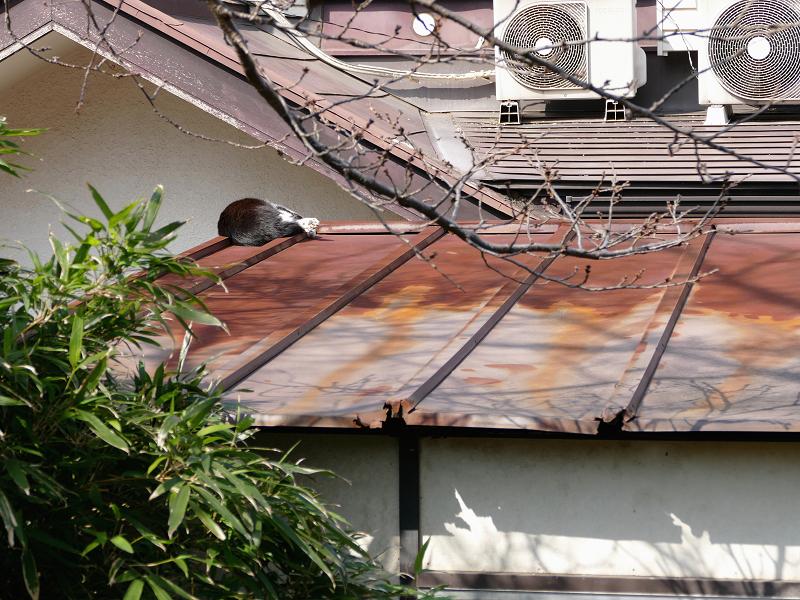 屋根の上で寝てる黒白猫1