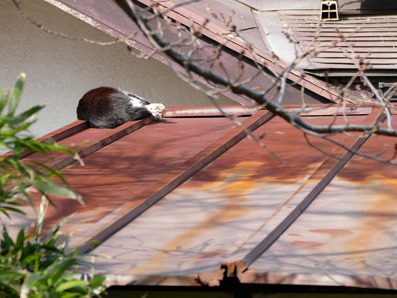 屋根の上で寝てる黒白猫2