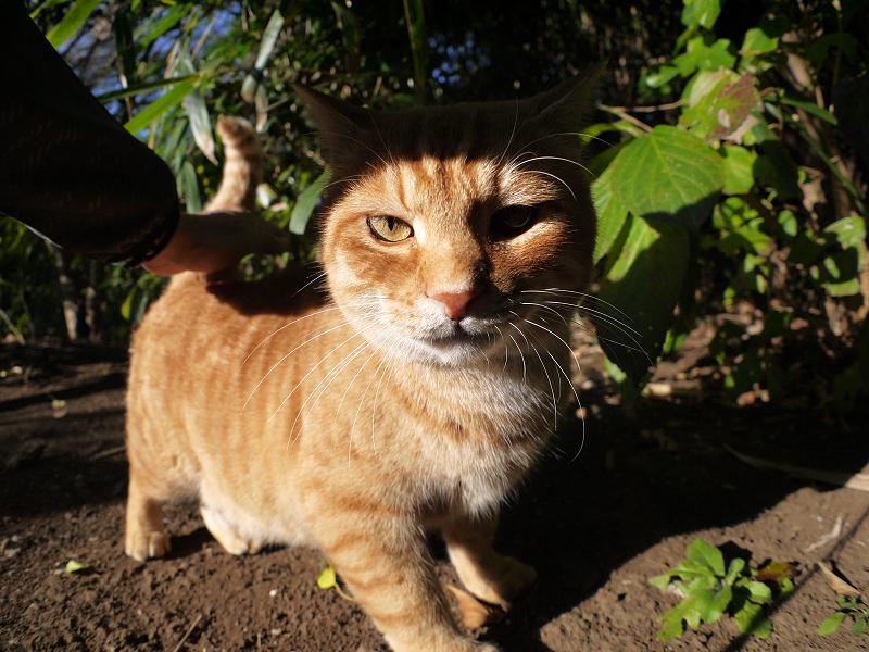 日差しと茶トラ猫2