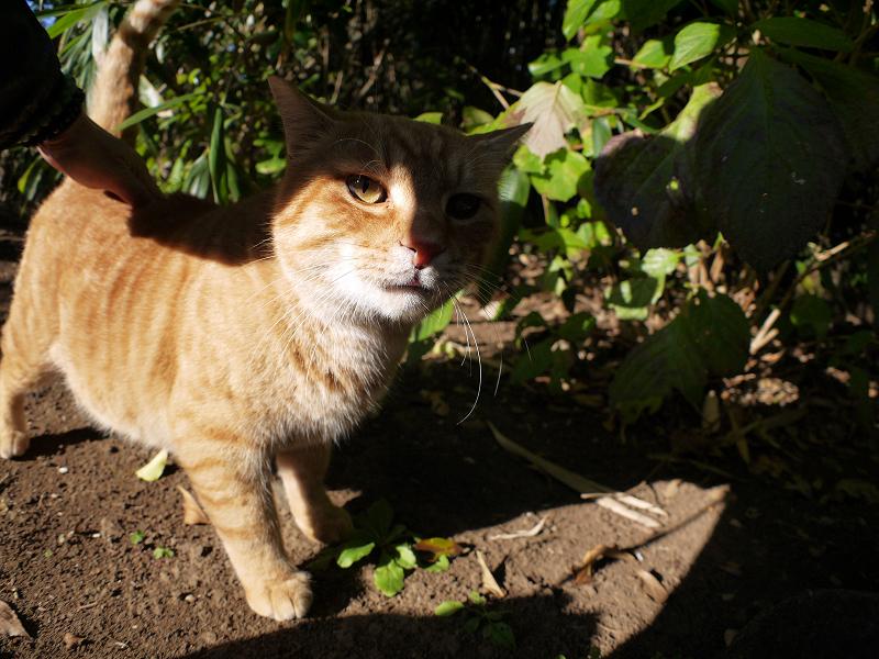 日差しと茶トラ猫3