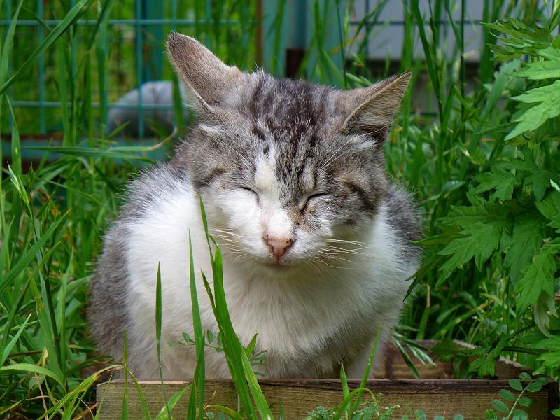 草むらのグレー白猫