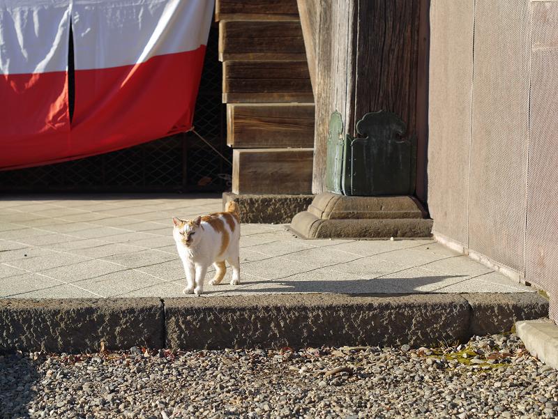 紅白の幕と白茶猫1