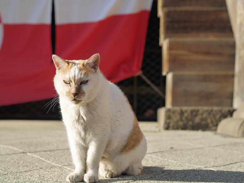 紅白の幕と白茶猫2